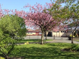 Fabulous Cherry Blossom
